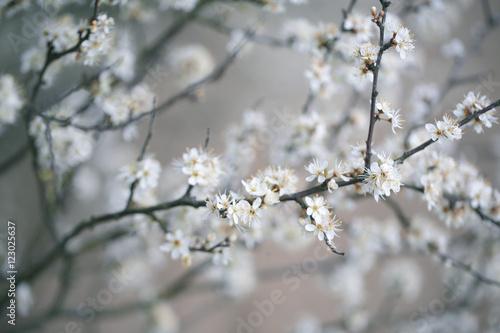 Apple Tree flowering in Spring