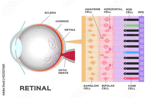 Fotografía  eye infographic: Photoreceptor in the retina of the eye