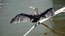Black Cormorant Sittin On A Brancha
