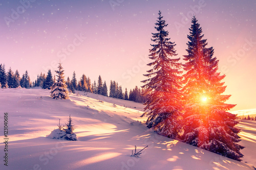 Beautiful winter landscape in mountains. View of snow-covered conifer trees and snowflakes at sunrise. Merry Christmas and happy New Year Background.