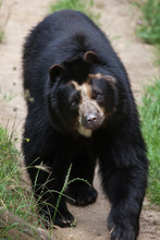 Spectacled Bear (Tremarctos Or...