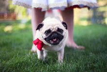Pug On A Wedding, Looking To Camera, Facing, Standing Near Bride Legs