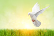 White Dove on green Bokeh