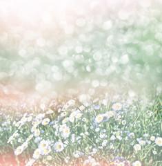 Fototapeta Wildflowers daisies. Summer landscape. white chamomile flowers