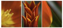 Orange Yellow Tulips Triptych