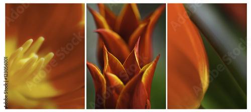 Fotografie, Obraz Orange Yellow Tulips Triptych