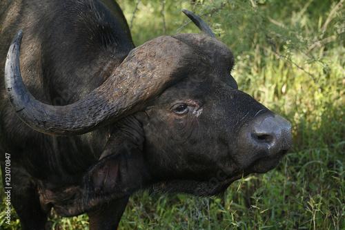 Door stickers Buffalo Afrikansk Buffel närbild på huvudet med stora horn