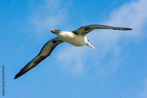Fotografia, Obraz  Albatros