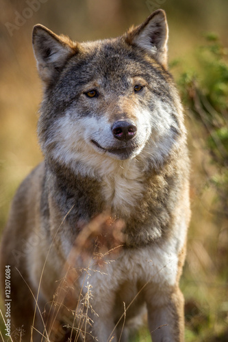 Norwegian wolf