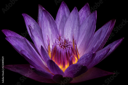 Photo Stands Water lilies Purple Water Lily II