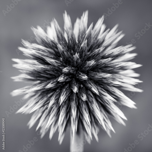 Purple Globe Thistle B&W - 123089045