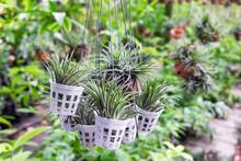 Tillandsia Plant Holding In Garden