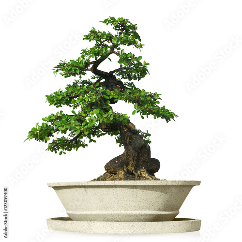 Foto op Aluminium Bonsai bonsai tree isolated