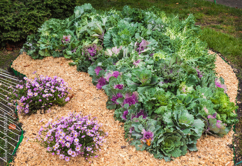 Staande foto Tuin Flowerbed with decorative cabbage and the chrysanthemum