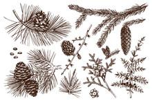 Vector Collection Of Conifers Illustration. Vintage Evergreen Plants Sketch Set - Fir, Pine, Spruce, Larch, Juniper, Cedar, Cypress. Christmas Decoration Elements.