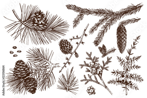 Fotografiet Vector collection of conifers illustration