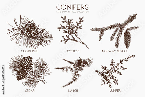 Fotografering Vector collection of conifers illustration