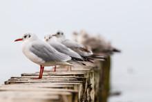 Mewa śmieszka Black-headed Gull Chroicocephalus Ridibundus. Winter Plumage.