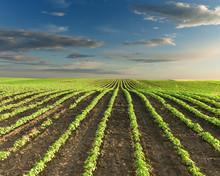 Beautiful Soybean Fields At Id...