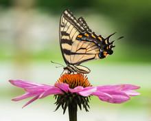 Tiger Swallowtail On Coneflowe...