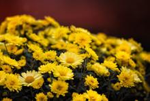 Yellow Mums Flowers