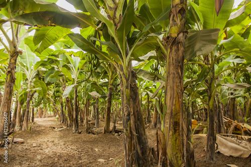 Cuadros en Lienzo Banana plantation