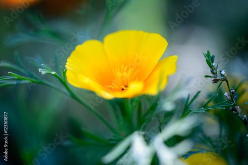 Fotografie, Obraz  Close up of a California poppy