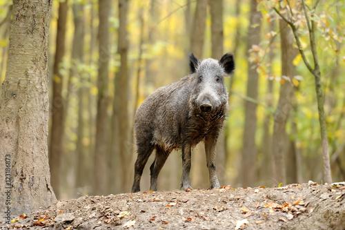 Wild boar in autumn forest Tapéta, Fotótapéta