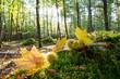 Verträumte Herbstlandschaft im Wald genießen, Glück, Freude, Meditation: Weicher Waldboden, sanftes Licht, Blätter, Bäume, rotes und gelbes Laub :)