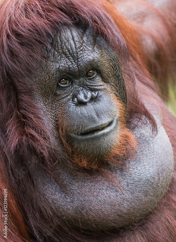 Deurstickers Aap A female of the orangutan