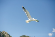 Gull Spreads Her Wings While Flying In Blue Sky