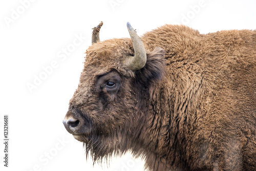 Fotografie, Obraz  Bison bonasus - European bison - Milovice, Czech republic