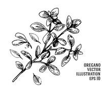 Vector Hand Drawn Oregano Illustration. Vintage Oregano Flower Sketch.