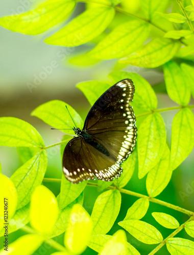 Fotografie, Obraz  Morpho achilles, butterfly with bokeh blurred