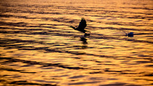 Silhouette Of A Cormorant Flying Over The Golden Waters Of The Lake Dospat In Bulgaria During The Sunrise. Water Trail Behind It From Taking Off In The Air.