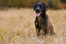 Black Labrador Retriever Sitting On The Autumn Meadow