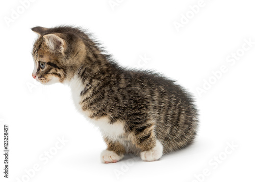 Foto op Canvas Eekhoorn Curious gray kitty