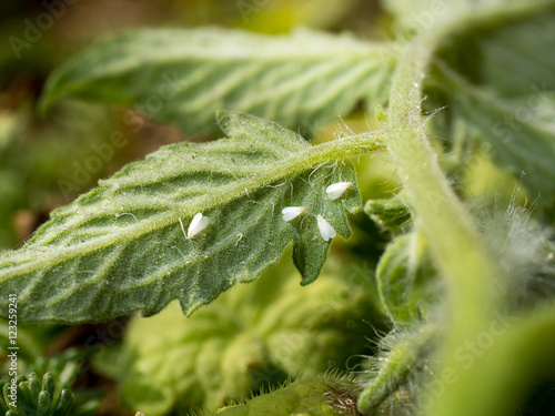 whiteflies sucking on a tomato leaf