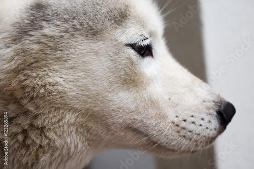 Canvas Prints Wolf Retrato de lado de perra husky blanca.