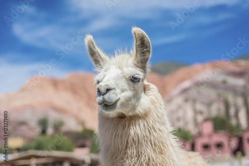 Fotobehang Lama Llama in Purmamarca, Jujuy, Argentina.