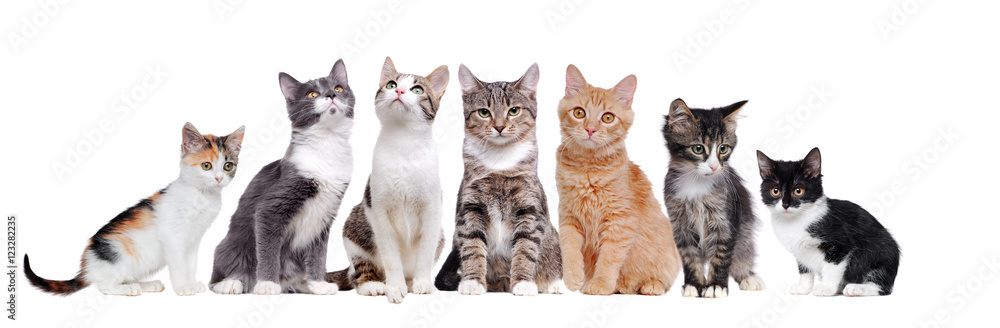 Fototapety, obrazy: A group of cats sitting in a raw on white background