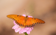 Orange And Black Gulf Fritillary Butterfly Feeding On A Pink Zinnia Flower Against Muted Fall Background