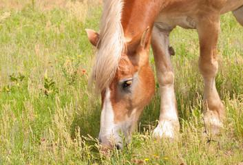 Naklejka na ściany i meble Blond Belgian draft horse grazing in pasture