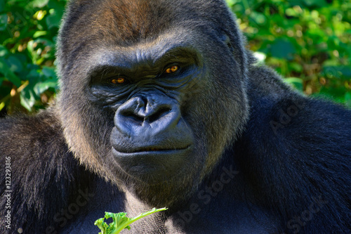 Photo  Male Silverback Western Lowland gorilla