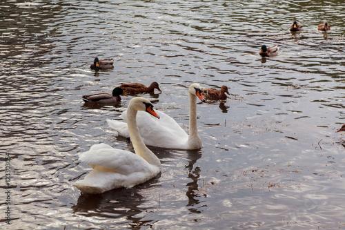 Fotografie, Obraz  three juvenile swan swimming on the river