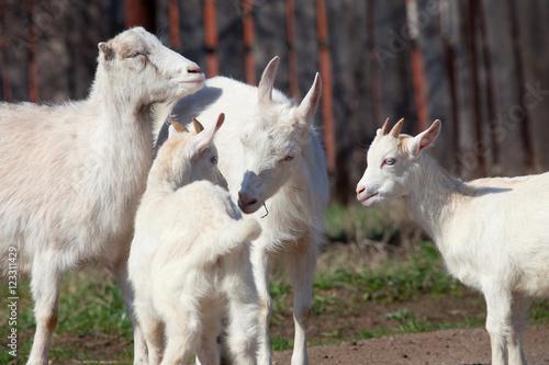 Poster Lama white goat