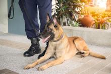 K 9 Alsatian Dog Crouch Beside...