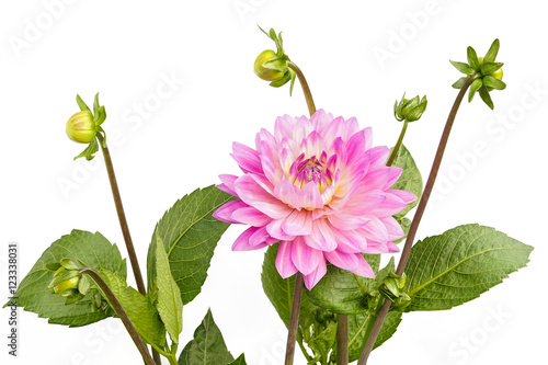 Poster de jardin Dahlia Dahlia of pink color with buds on white background