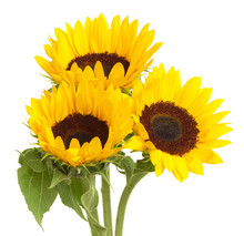 Bouquet Of Sunflowers Isolated On White Background For Use Alone Or As A Design Element