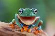 Portrait of a Javan gliding tree frog with mouth open, Indonesia